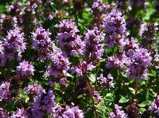 TOMILLO olor a LIMON  thymus citriodora 300  semillas seed semi graines