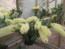 Dendrobium speciosum curvicaule Fragrant Orchid Species 4� (15)