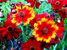 Dwarf Red Plains Coreopsis! 50 seeds! Beautiful Bright Red Color!  Comb.S/H