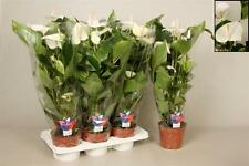Anthurium Sumi WHITE 17cm pot 60-65cm tall HOUSE PLANT