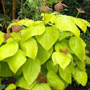 Catalpa bignoides Aurea - Golden Indian Bean Tree  - approx 5-6L container