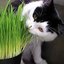 1 kg Sweet Oat Grass seeds grown in Sussex for Cats and other Pets