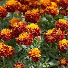 Flower Seeds Marigold Fiesta For Bee Slugs Bedding Garden Pictorial Packet UK