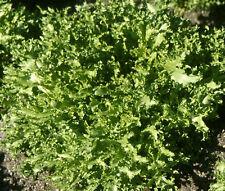 ENDIVE SALAD KING Cichorium Endivia - 1,000  Bulk Seeds