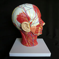 Median Section of Human Head & Neck Anatomical Model - Medical Skeleton Anatomy