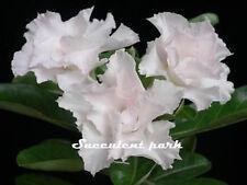 "Rosy Adenium Obesum (Desert Rose) ""Angel"" grafted plant"