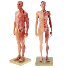 11'' Male Female Anatomy Figure Anatomical Reference for Artists, Skin Color