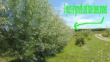 New listing Aussie,Hybrid ,Salix,Willow,Tree,cuttin gs,1o pieces,Fast growing,large diamiter
