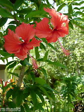 Hibiscus Archeri 5+Cuttings-Rosa Senisis-Showering Red Flowers,Tall Tree Variety