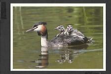 Colour Postcard  bird swimming   by Winfried Wisniewski / Natura unposted