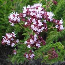 Seeds Sweet Marjoram Garden Medicinal Herbs Perennial Planting Organic Ukraine