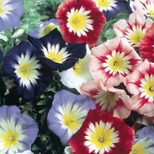 Dwarf Morning Glory Mix Flower Seeds/Convolvulus Tricolor Minor Ensign/Annual40+