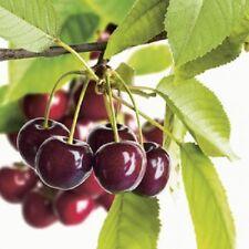 Cherry Tree Regina Cordon 8L Pot Plant Fruit Dessert Prunus Avium Fully Hardy