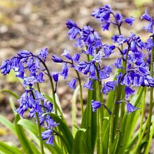 ENGLISH BLUEBELL BULBS Spring Flowering Garden Bulbs Plant With Snowdrops Bulbs