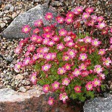 Saxifraga Rose Robe Flower Seeds (Saxifraga Arendsii) 100+Seeds