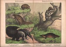 1886 Belle lithographie originale ornithorynque tapir paresseux animaux gravure