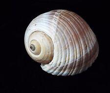 """Giant Mediteranian Tun Shell (Tonna Galea / Olearia / Olearia) 7"""" + Seashell"""