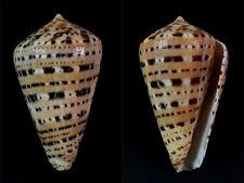 Conus, Kalloconus genuanus, Ivory Cost, 60,9 mm, LARGE, VERY NICE