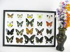 20 echte präparierte Schmetterlinge als Wandbild - Schaukasten - Entomologie  06