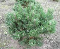 Pinus mugo Laurin 50-60, Zwerg-Bergkiefer, max. 1,50m hoch / 2m breit