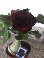 succulent desert rose plant,adenium No 62,good night,best seller!!!!
