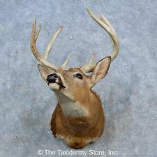 #15329 N+ | Whitetail Deer Taxidermy Shoulder Mount For Sale