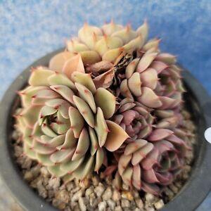 """Echeveria """"Ben Badis"""" 940124 / Sun & Moon Succulent"""