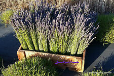 Fresh Dried Lavender Bunches 10 Bunches Grosso & Hidcote Lavender Bright Purple