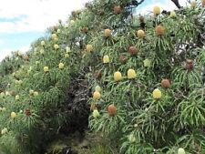 13 Banksia Speciosa Seeds (Not Protea)