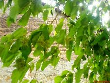 Haselnussbaum rotlaubig ca.70 cm inkl.Topf