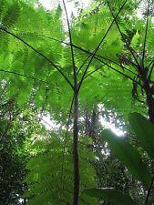 Slender Tree Fern (Cyathea Robertsiana) - 25+ Fresh Spore (seeds)