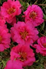 Portulaca Happy Trails Fuchsia    1,000 seeds  Need More?  Ask