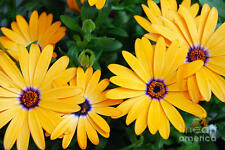 Yellow African Daisy seeds(Pack of 10 seeds) F-148