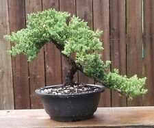 "Juniper Procumbens Bonsai tree in a 9"" Round plastic pot."