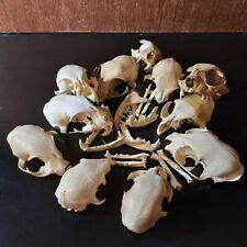Ostéologie - Lot - Crânes de chat