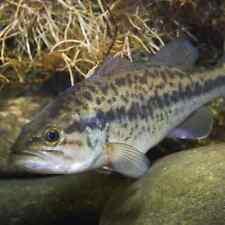 "4"" - 10"" MEDIUM LARGEMOUTH BASS LIVE Fish GUARANTEE ALIVE - FEED TRAINED!"