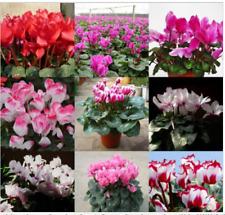 Mixed Cyclamen Flower Seeds Perennial Flowering Plants Cyclamen Seeds - 100 Pcs