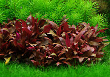 Alternanthera Reineckii Mini aquarium planted tank freshwater live plant fish