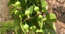 Docynia indica, Assam apple, rare delicious fruits, 10 seeds