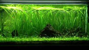 2xbunch Aquarium Live plant VALLIS tropical fish tank