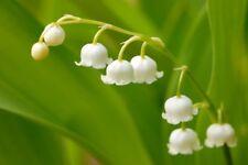 Convallaria Majalis Muguet de Mai Lily of the Valley 20 Graines 2020 20 Seeds
