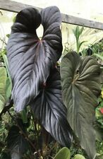 "Anthurium chamberlainii Huge Purple Leaves ""chamberlainianum 34; Stunning V. Rare"