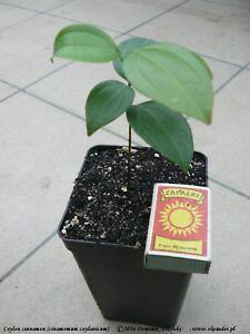1 Ceylon cinnamon (Cinnamomum zeylanicum) 1 LIVE Plant in pot NO SHIPPING TO USA
