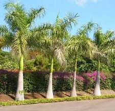 Roystonea Regia - 10 Seeds - Royal Palm Tree