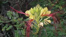 6 Semillas de  poinciana, arbusto de ave del paraiso,  seeds, llavors
