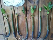 10 Mangroves Live Plants Aquarium Red Mangrove Saltwater Freshwater Seeds Tank