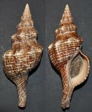 4341 Pleuroploca trapezium thailandis w/o - 142,4mm - f++/f+++ - Thailand - rare