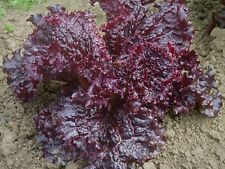 1000 RUBY RED LETTUCE SEEDS 2020 (non-gmo heirloom vegetable seeds!)