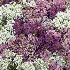 100 Purple Mix Alyssum Seeds Carpet Flower Sweet Royal Flowers Plant Garden 302