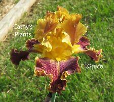 Tall Bearded Iris ~ El Greco ~ Additional wins ship $1.25 each